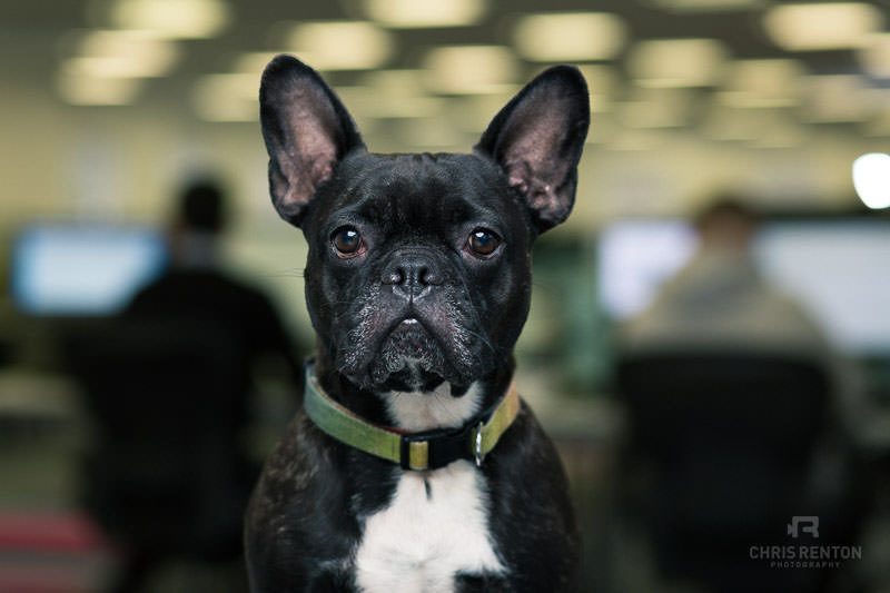 french bulldog portrait office